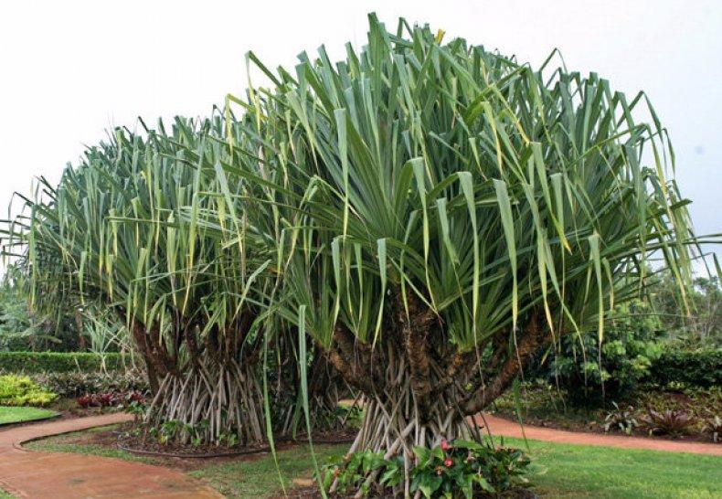 панданус, винтовой, пальма, уход