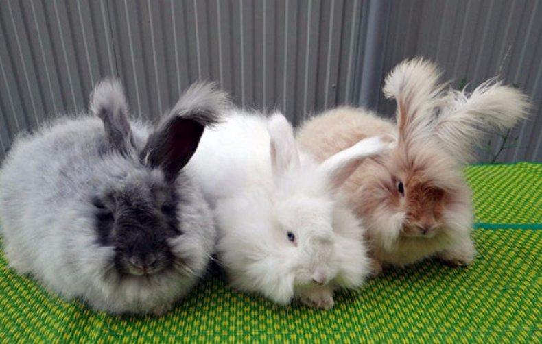 разведение, ангорский, кролик, содержание, кормление