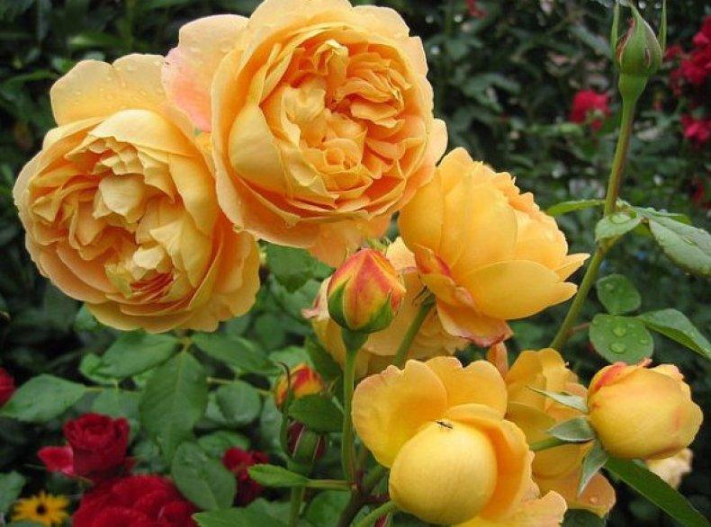 Английские розы Дэвида Остина описание сортов с названиями и фото