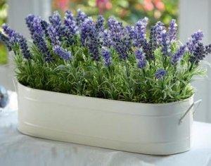 Вырастить лаванду в домашних условиях