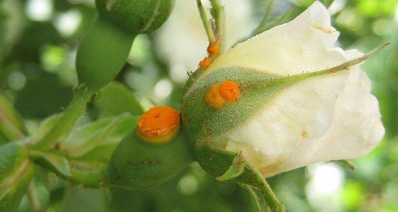 Ржавчина розы