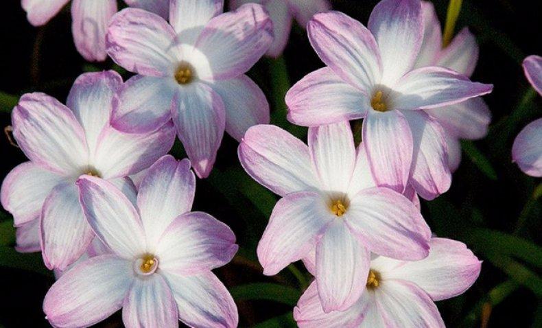 цветок, выскочка, зефирантес, уход