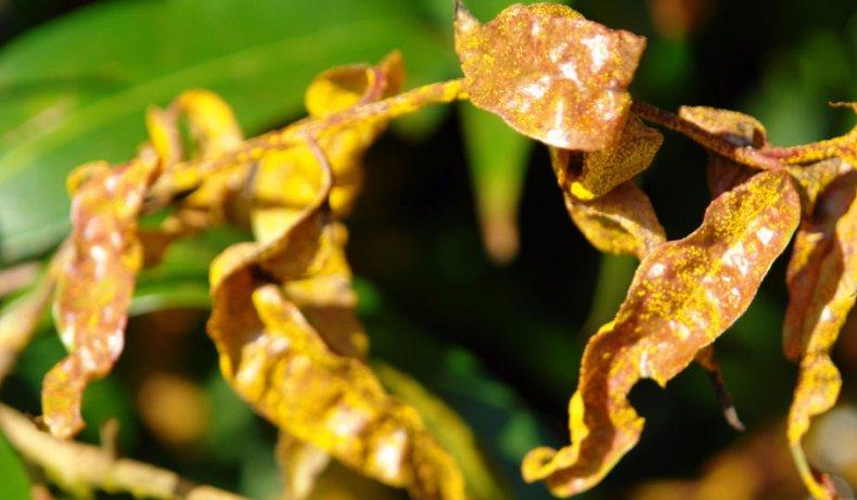 Ржавчина комнатных растений