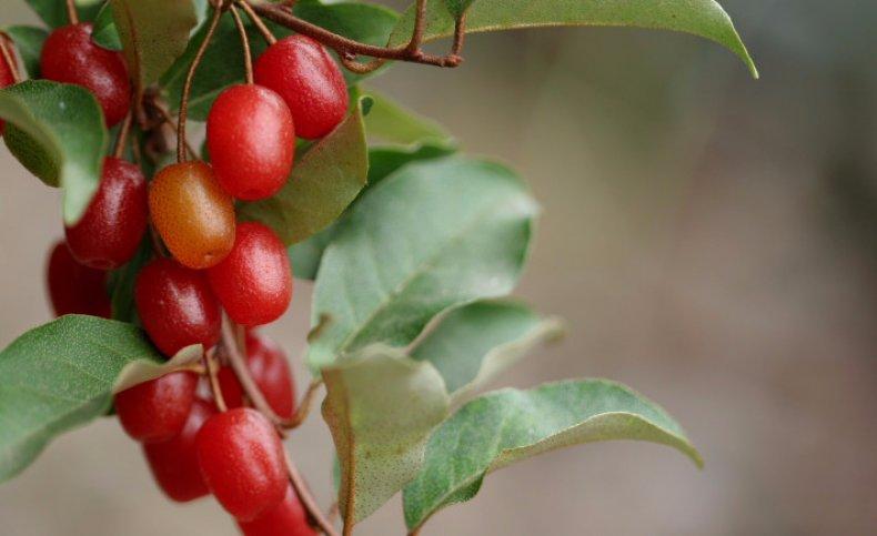 как узнать гумми ягоды фото и описание соборных склепах