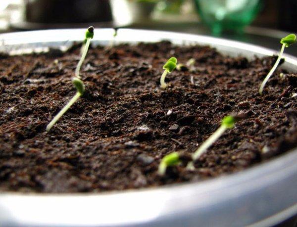 Сажаем лаванду из семян в домашних условиях