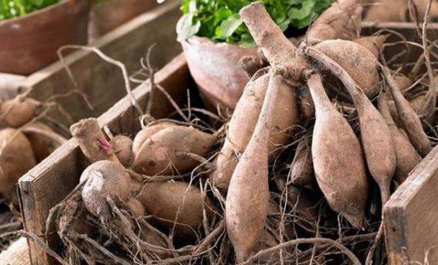 Как содержать луковицы георгинов