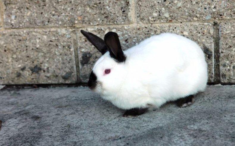 калифорнийский, кролик, разведение, содержание, уход, кормление