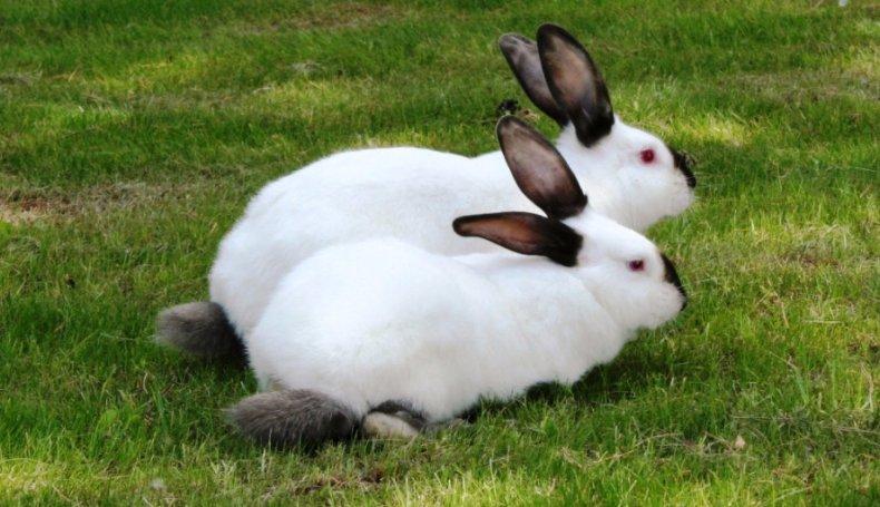 Кролики-калифорнийцы