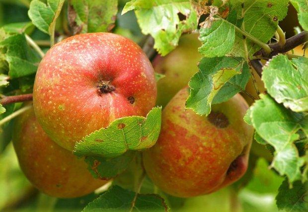 Парша на яблоне как бороться осенью