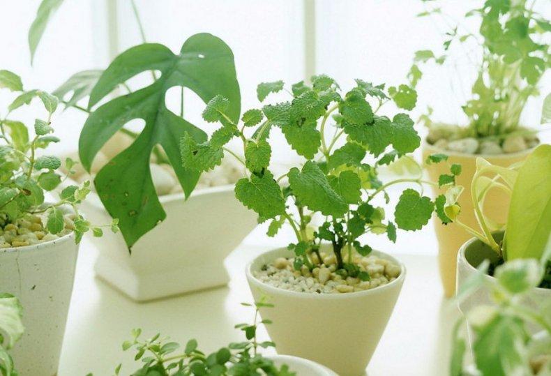 Златоглазка на комнатных растениях