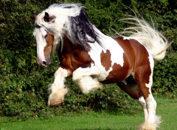 Цыганские лошади и их характеристика