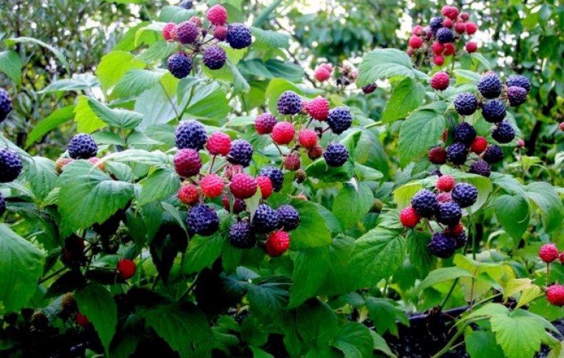 Куст черной малины
