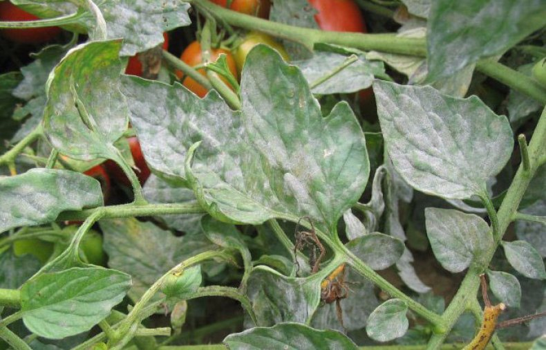 Мучнистая роса на томатах