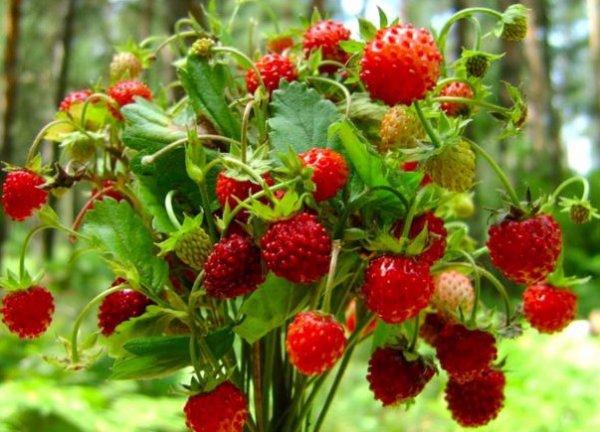 Агротехника садовой земляники посадка и уход выращивание из семян