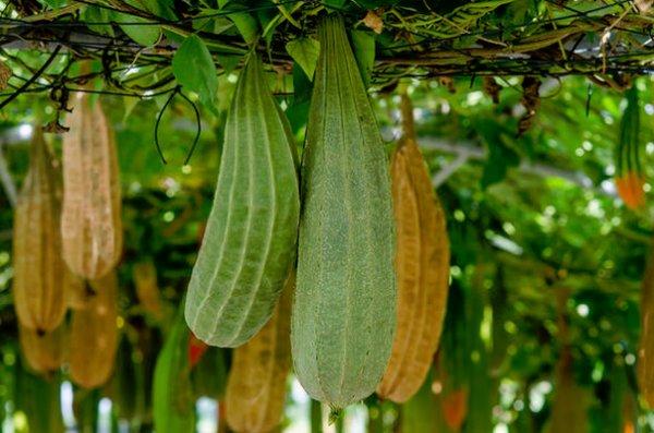 Огуречное дерево особенности ухода применение свойства