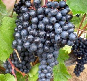 чбз виноград описание