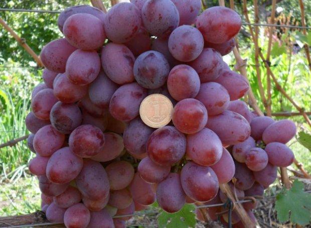 Юлиан виноград