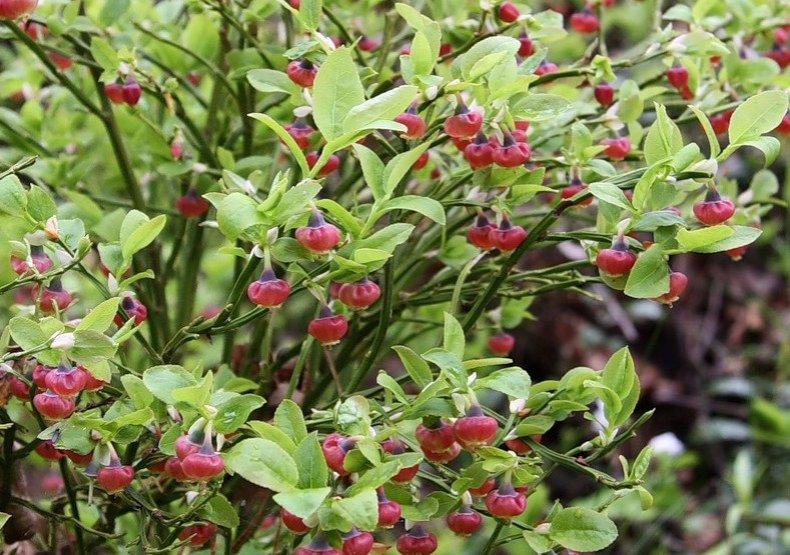 цветущая черника фото растения цветоводы