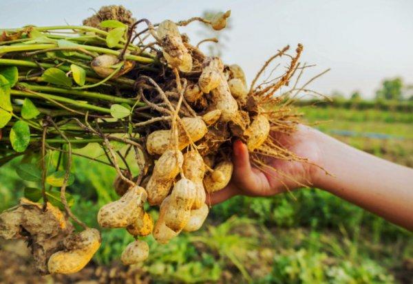 Как вырастить арахис на собственном огороде