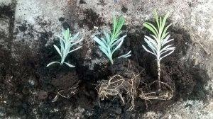 Почва для лаванды