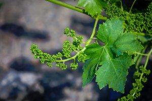 цветение, виноград, виноградной культуры, виноградом период, виноградом период цветения, данной фазе