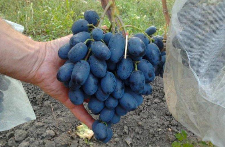 португалкой виноград фуршетный описание сорта фото соцсетях очевидцы предполагают