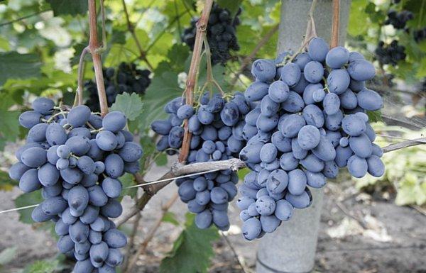 Виноград фуршетный описание сорта особенности выращивания