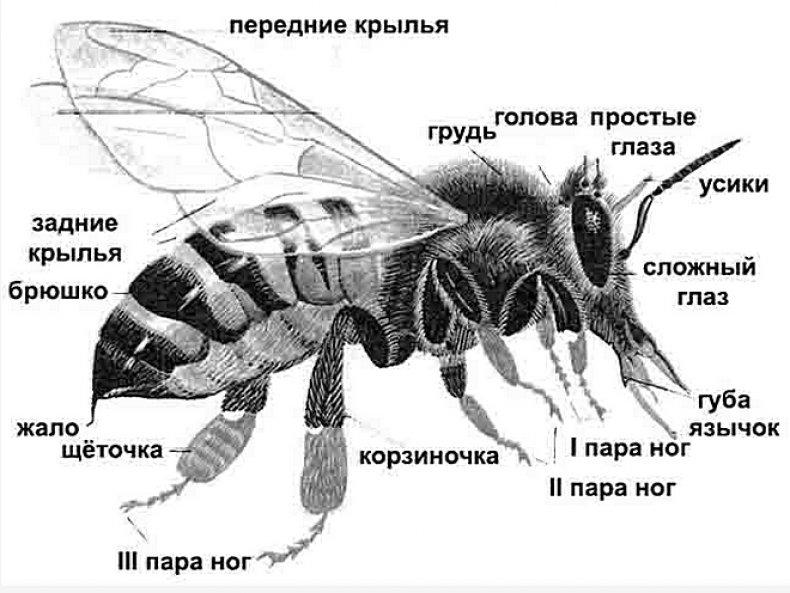 есть ли у пчелы сердце
