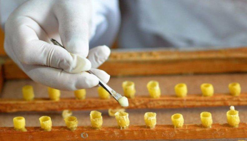 Добывание пчелиного маточного молочка