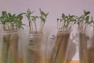 Как вырастить рассаду без почвы с помощью туалетной бумаги