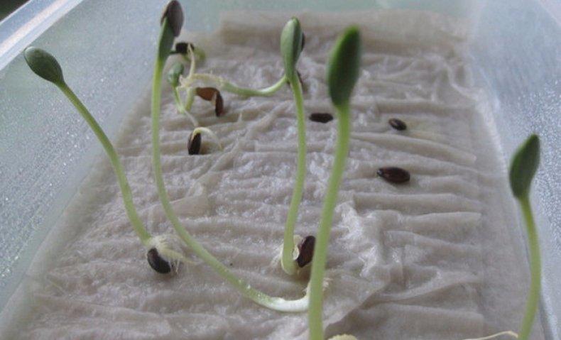 выращивание рассады без земли на туалетной бумаге с применением пластиковых бутылок