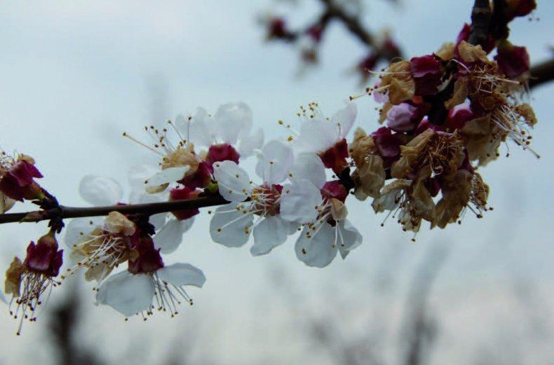 Монилиоз на цветках