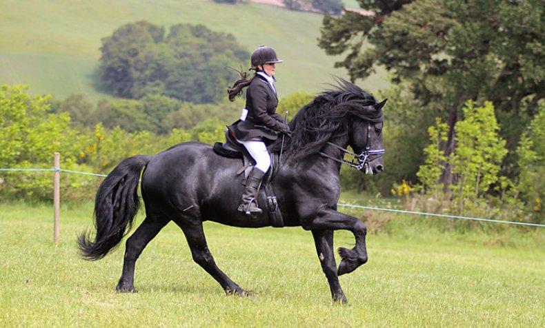Фризская лошадь с наездником
