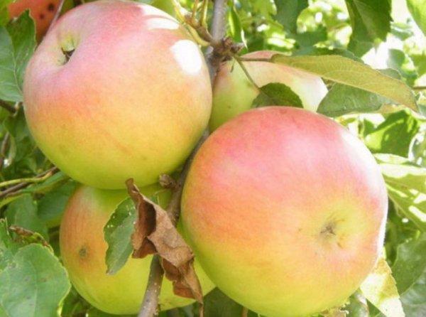 Описание и характеристика яблони сорта Имрус