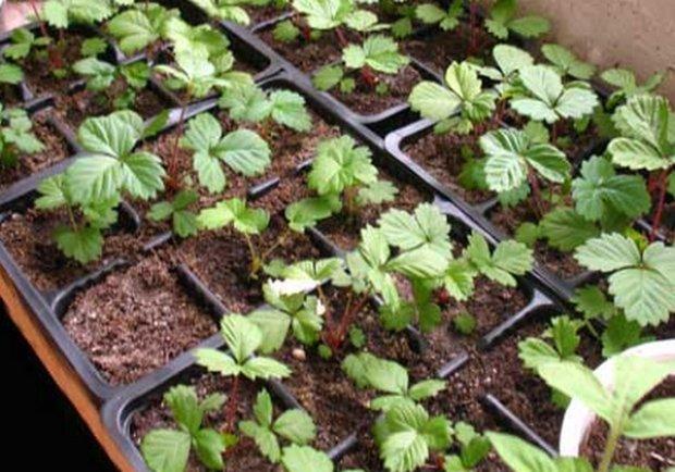 Земляника ремонтантная золушка выращивание из семян 19