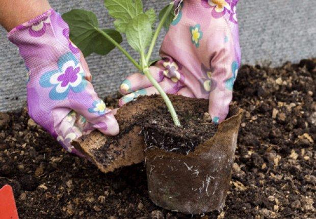 Когда сажать арбуз на рассаду в домашних условиях