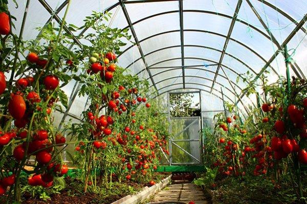 Технология и особенности выращивания томатов в теплице