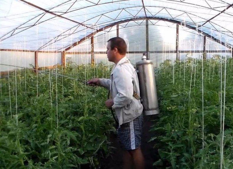 Обработка томатов от болезней и вредителей