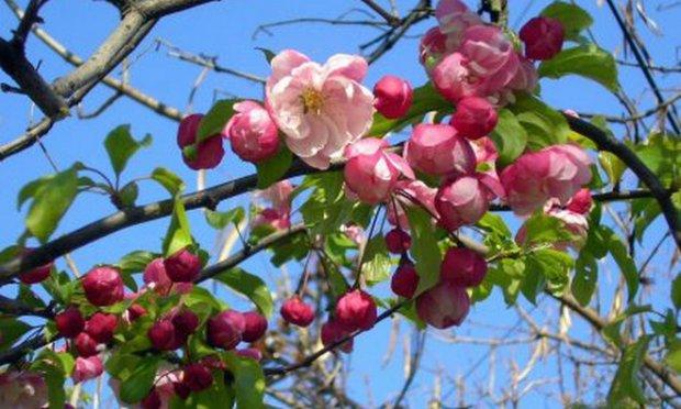 Яблоня краса свердловска описание фото отзывы