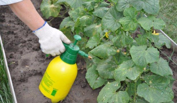 Борная кислота для огурцов: как опрыскивать растения