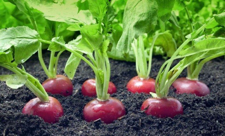 Почему редиска горькая, и другие проблемы при выращивании