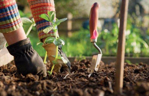 какие удобрения вносят осенью в почву под смородиной