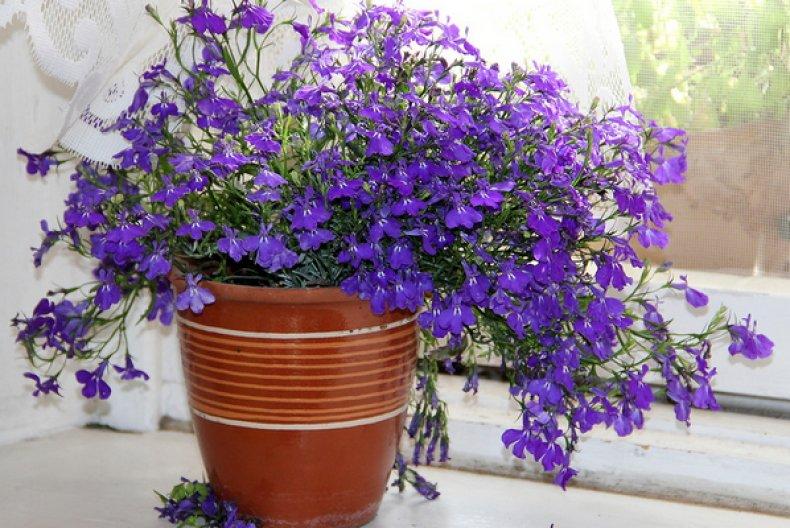цветок, балкон, засухоустойчивый, лучи солнца