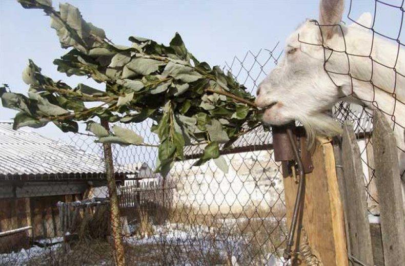 Веник для козы