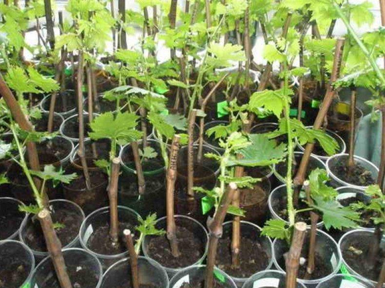 Саженцы винограда «Тасон»