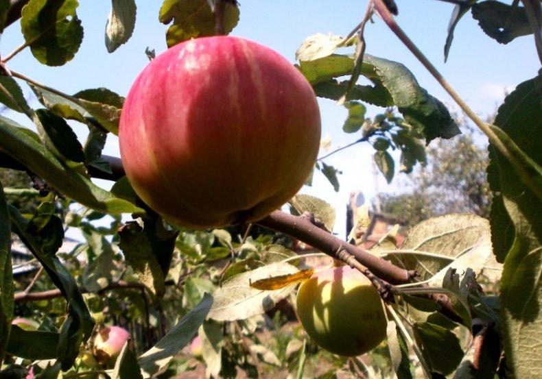 обрезка, яблоня, старых яблонь, обрезанной части, обрезка старых, обрезка старых яблонь