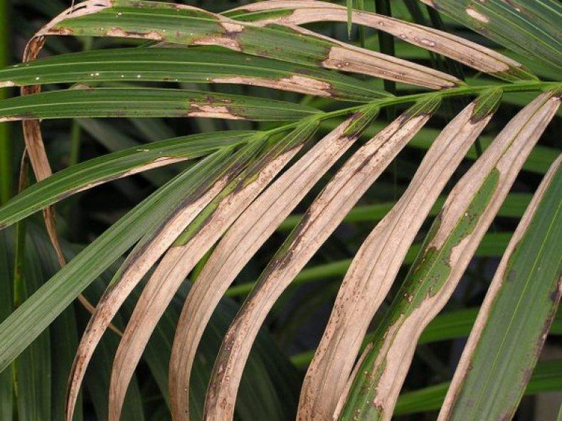 Хлороз листьев