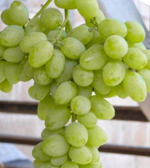 Виноград элегант описание и характеристики история селекции сорта и выращивание