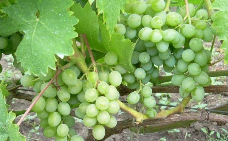 сорт, виноград, элегант, описание