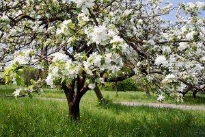 Антоновка и Восход - описание сортов яблок